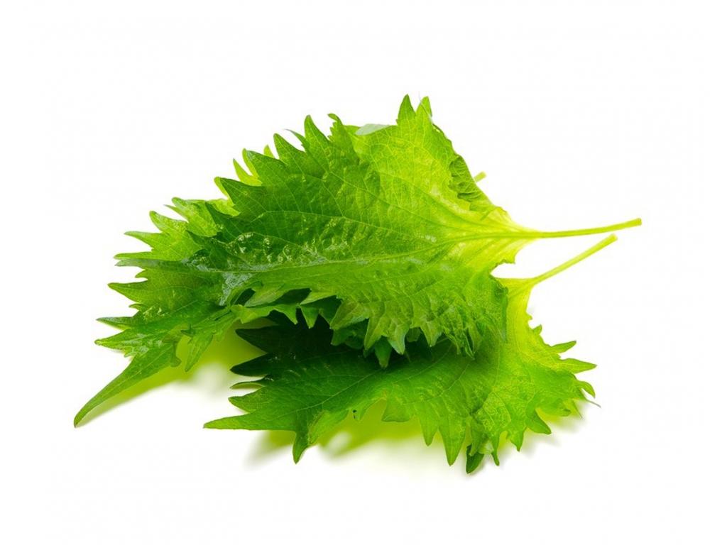 Листья шисо зеленые
