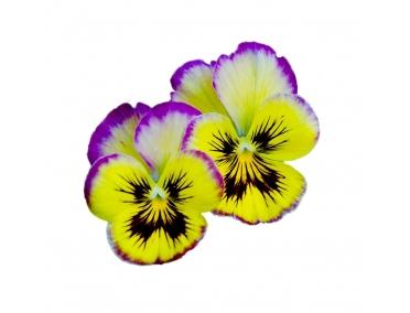 Съедобные цветы виолы
