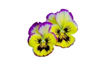 Съедобные цветы виолы 10-15 шт
