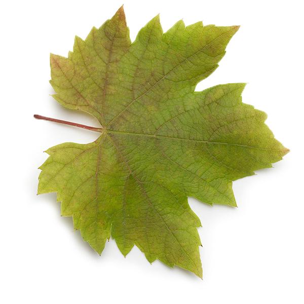 Листья винограда свежие 30 шт.