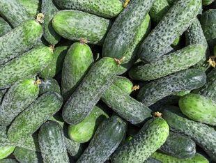 Огурец колючий органический - FreshMart